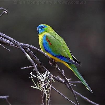 Papagalul Turcoaz