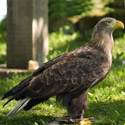 Vulturul Codalb