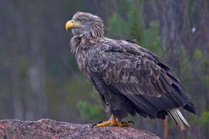 Vultur Codalb la munte