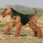 caine Welsh Terrier