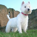 caine West Highland White Terrier