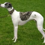 caine Whippet