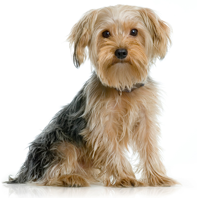 Rasa De Caine Yorkshire Terrier Toate Animalele