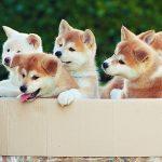 caini akita pui in cutie
