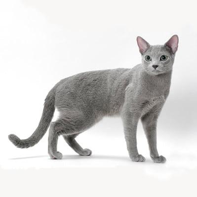 Pisica Albastru de Rusia