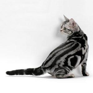 Pisica American Shorthair