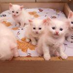 cinci-pui-mici-de-pisica-Turkish-Van