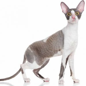 Pisica Cornish Rex