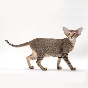 Pisica Orientala