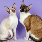 pisica-cornish-rex-marocu-alb