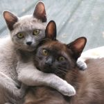pisici burmeze se joaca