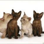 pui de pisica burmeza