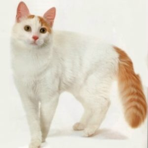 Pisica Turkish Van