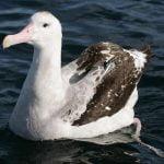 Albatrosul pasare