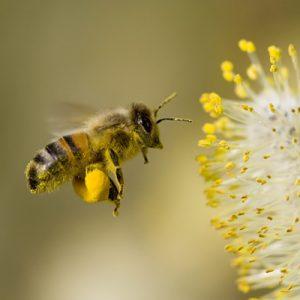 Albina insecta