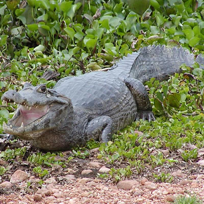 Aligatorul