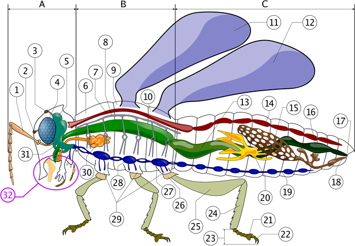 Anatomia insectei