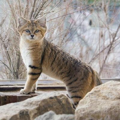 Pisica Andina