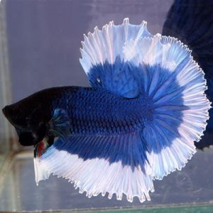 peste Betta Splendens