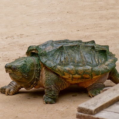 Broasca testoasa aligator