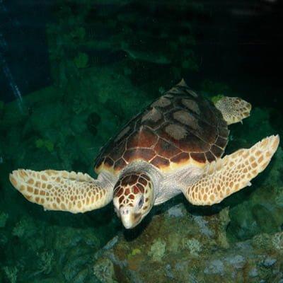 Broasca testoasa de mare