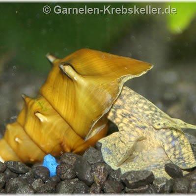 Melcul Pogoda (Brotia Pagodula)