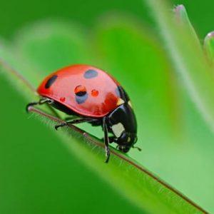 Buburuza insecta