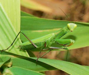 Calugarita insecta