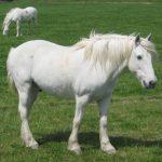 calul Camargue