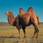 Camila animal de desert