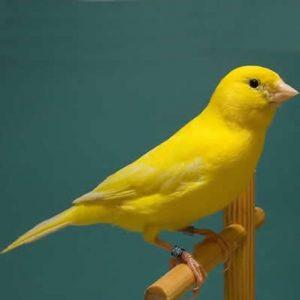 Canarul pasare cantatoare