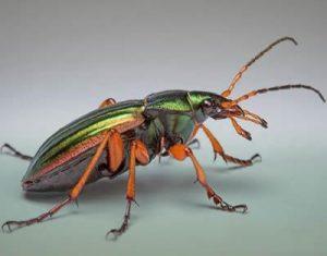 Carabus insecta