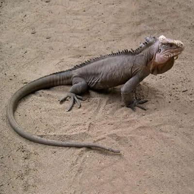 Iguana de Caraibe