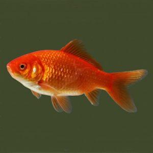 Peste Carasul Auriu de acvariu