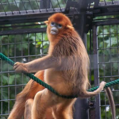Maimuta cu nasul carn
