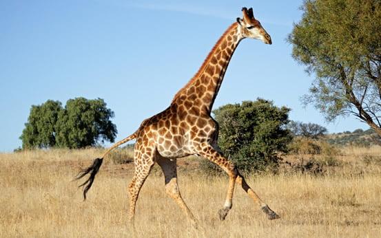 Circulatia sangelui la girafa