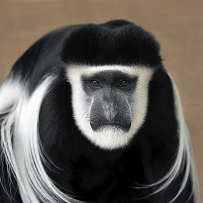 Maimuta Colobus
