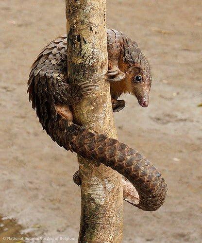 Pangolinul de Copac