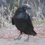 Corbul pasare neagra