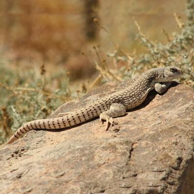Iguana de Desert