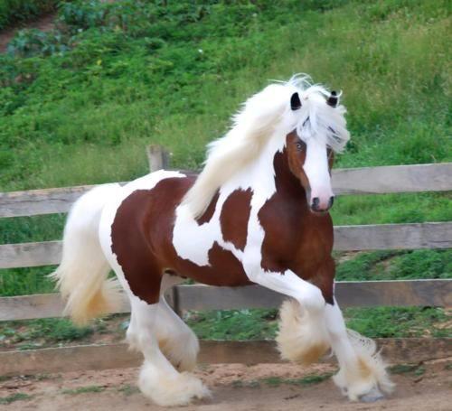 cal alb cu maro