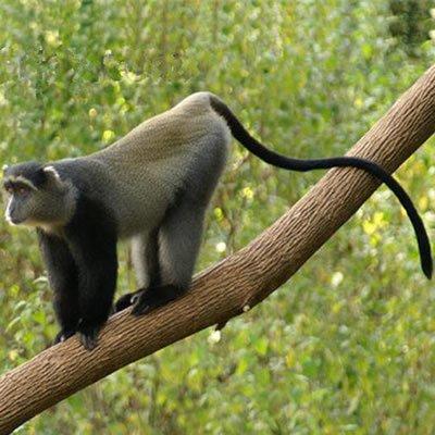 Maimuta cu diadema