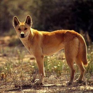 cainele Dingo Canis lupus dingo