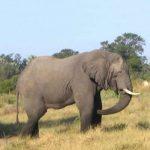 Elefantul animal
