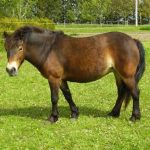 ponei Exmoor