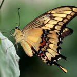 Fluturele insecta
