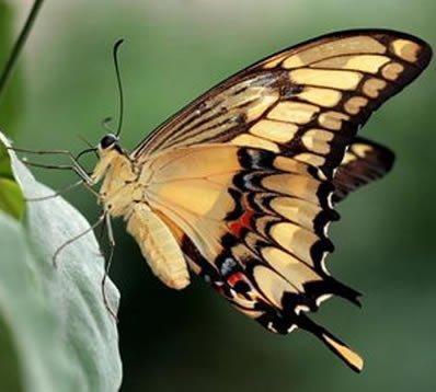 Fluturele