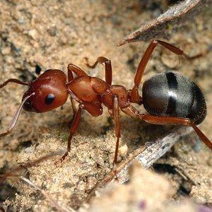 Furnica insecta