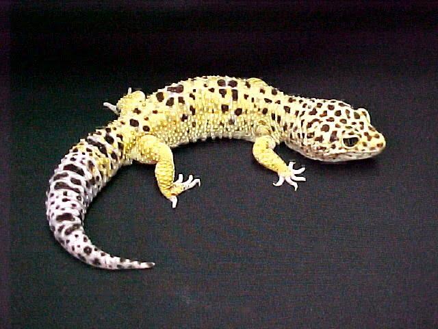 Forme Gecko Leopard