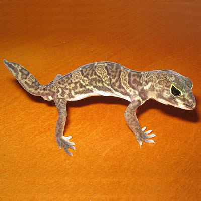 Gecko African cu gheare